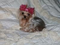 Beautiful Yorkie female for sale $600.00 firm. She is 3