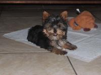 Yorkie Teacup harsh teddy bear face. dogs are 2 months