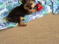 I have the sweetest Yorkie puppy. Ready now for his new