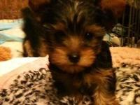 Pure Breed Yorkies starting at $1000 The Parents are my