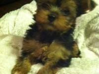 tiniest akc yorkie puppies males and females both