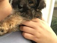 One male yorkie teddy bear puppy left! He is a fun,
