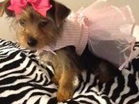 Bella is a lovely yorkie girl. She is special because