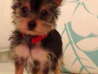 Adorable seven-month old Yorkie Terrier. She loves