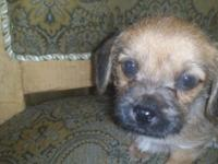 Yorkie terrier and maltese mix puppies. $100 rehoming