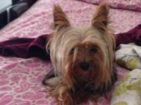 Gorgeous tiny AKC female Yorkshire Terrier. 16 mnths