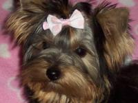 Darling little Yorkie girl, 6 months old, AKC, all