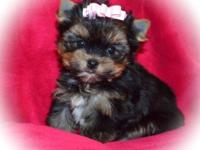 Precious tiny child female !! AKC reg to a pet dog