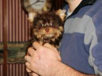 I have one tiny teacup male Yorkie, this little guy