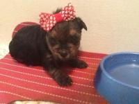 Adorable little female Yorkie raedy for her new family