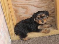 Yorkie toy teddy bear faces male and female CKC
