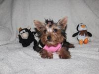 Baby is a Toy Yorkie teddy bear face with her tail and