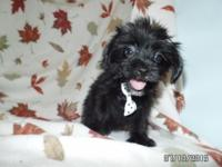 Yorkie-Tzu puppies.  Mama is a Yorkie and daddy is