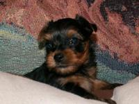 Adorable, tiny yorkie female puppy. AKC registered. She