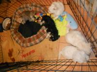 Adorable & Lovable Puppies they are 8 wks. old puppy