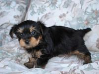 This little Yorkie is very playful and loves to cuddle.