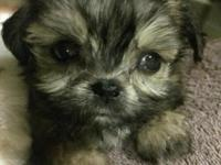 Hand raised 3/4 yorkie shih tzu babies .They have 1