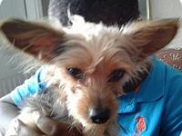 YORKIE's story YORKIE TERRIER--BAXTER IS READY TO GO TO