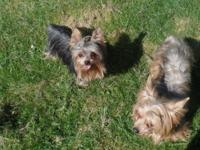 We have an 18 month old female, black and tan yorkie