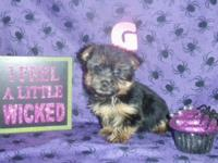 We have both boy and girl Yorkies ready for pick up