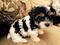 I have one Male AKC Full Parti Yorkie Puppy left . I