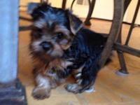 . American Kennel Club registered. Yorkshire Terrier