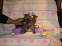 Three GIRL purebred Yorkshire Terrier Puppies