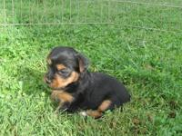 Yorkshire Terrier Puppies...Well socialized, tails