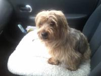My mom has an 18 pound yorkie mix male available for