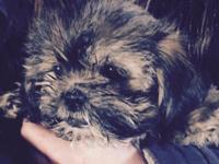 Mixed yorkie puppies available--yoshon (yorkie bichon
