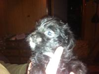 Have a blk female an blk male an 1 apricot male pup.