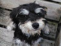Very playful, loving, 7 months old Yorkie Poo. She