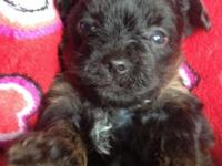 I have a litter of Yorkie poo puppies. They will be