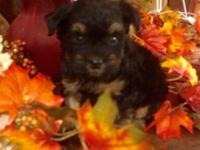 Super sweet male puppy. Mother is AKC Yorkie. Father is