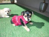 YorkiePom Puppies , Porkies. 1 White Boy and 1 Black &