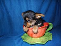 YorkiePom Puppies , Porkies. 2 Boys $300 each 8 Weeks
