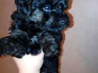 I have 3 yorkiepoo puppies that will be ready for their