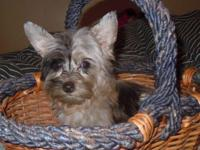 This is a sweet, quiet yorkiepoo, 2nd generation. Mom