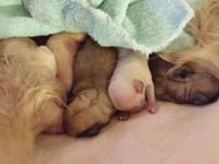 I have some beautiful Yorkiepoo puppies, just born
