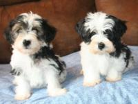 I have two black and white male yorkiepoo young puppies