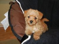 ADORABLE YORKIEPOO MALES, VERY CUTE AND LOVE TO PLAY, 9