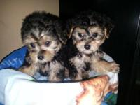 YORKIEPOOS DIFFERENT SIZES AND COLORS MALES FEMALES