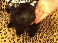 Yorkiepoo puppy boy is ready for his forever home to
