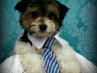 Come see our adorable litter of yorkiepoo puppies, now