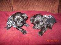 We have two male Yorkiepoos left from a litter of 4.