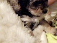 I have 2 loving male Yorkie poo puppies looking for