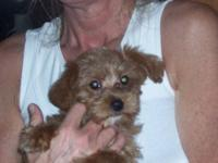 2 adorable male yorkiepoos 8 weeks very sweet, home