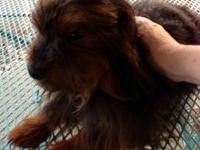 Yorkiepoo Pets And Animals For Sale In Ohio Puppy And Kitten