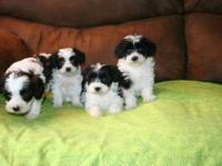 Black and white yorkiepoo puppies born June 23rd,