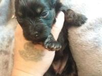 I have 5 yorkiepoo puppies available. These are F1